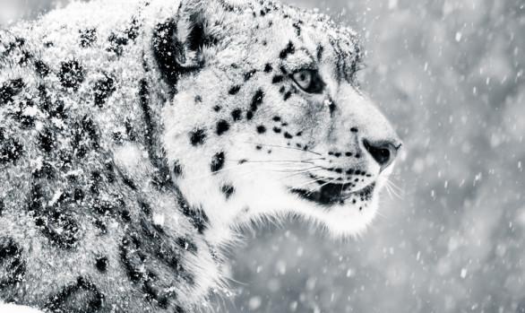 Snow Leopard - Viaggi fotografici in Ladak con Luca Bracali