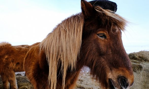 cavalli selvaggi in Islanda, foto di Luca Bracali
