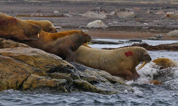 Svalbard, trichechi, foto di Luca Bracali