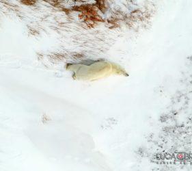 Viaggio fotografico in Canada, alla scoperta degli orsi polari con Luca Bracali