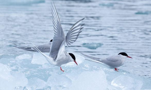 Isole Svalbard Birds
