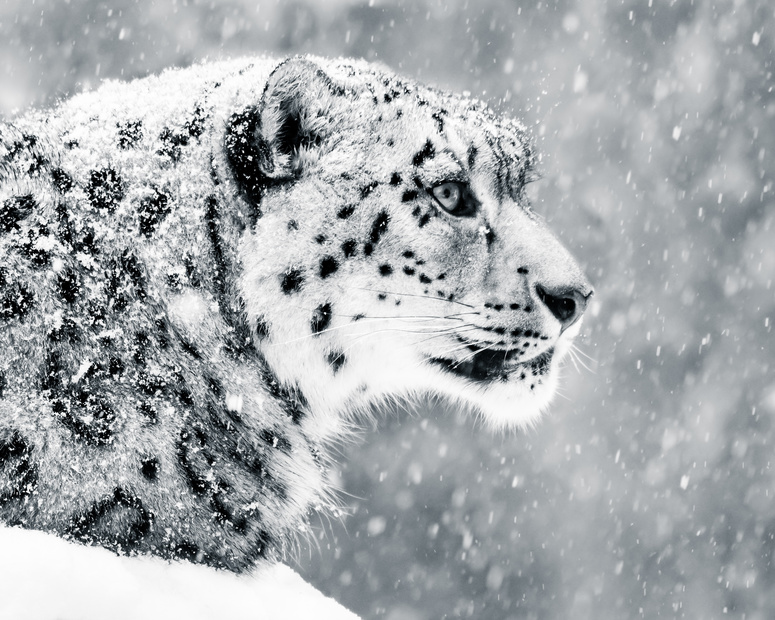 Snow Leopard in Snow Storm Ladak