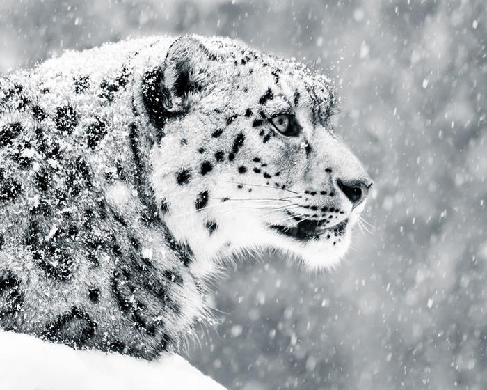 SNOW LEOPARD BLACK E WHITE
