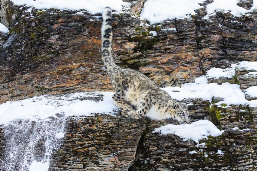 Snow Leopard Ladak