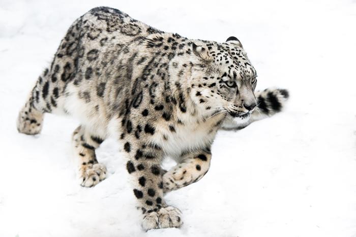 snow_leo_whitesnow
