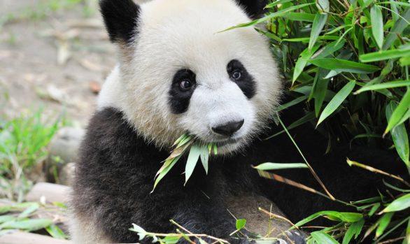 Viaggio fotografico in Cina con Luca Bracali - Panda