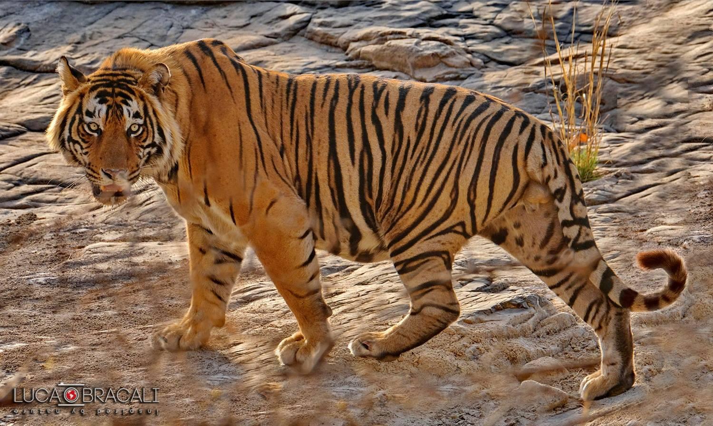 tigre2