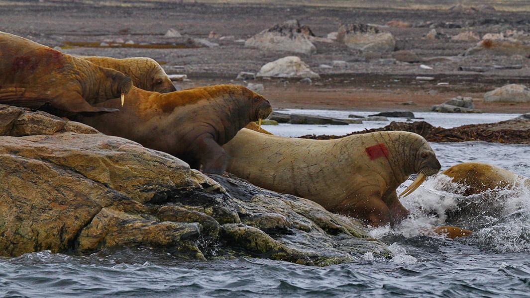 Isole Svalbard foto di Luca Bracali_ 05