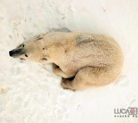 Viaggio fotografico in Canada, orso polare, foto di Luca Bracali