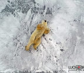 Viaggio fotografico in Canada, orso polare