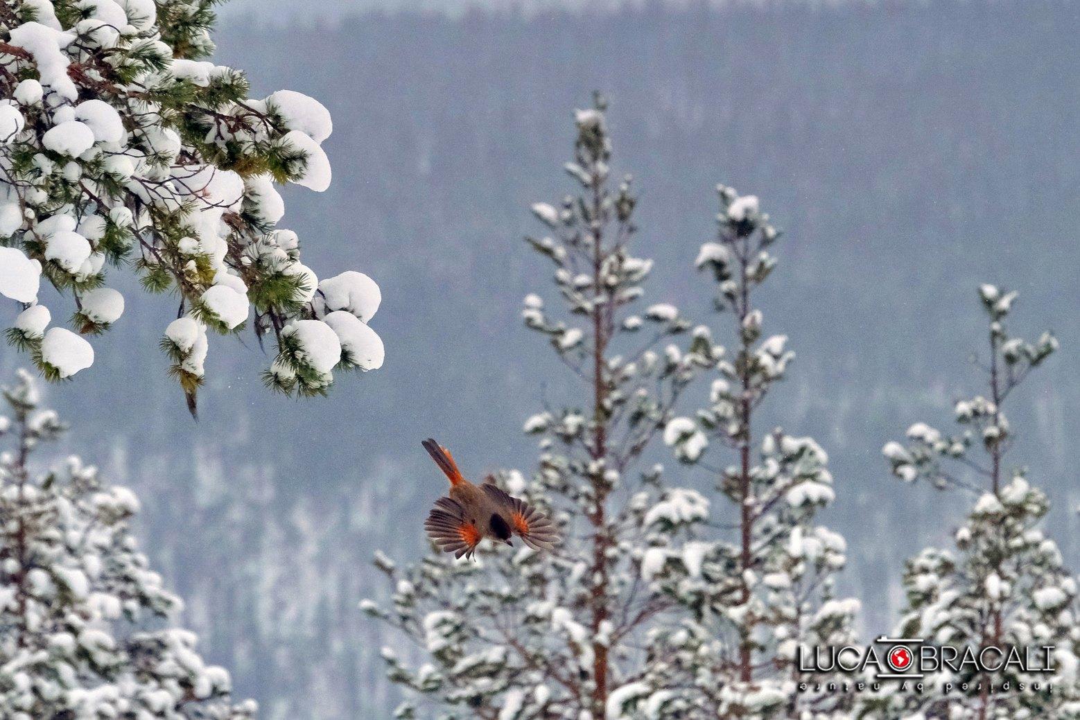 Lapponia_Finlandese_bird