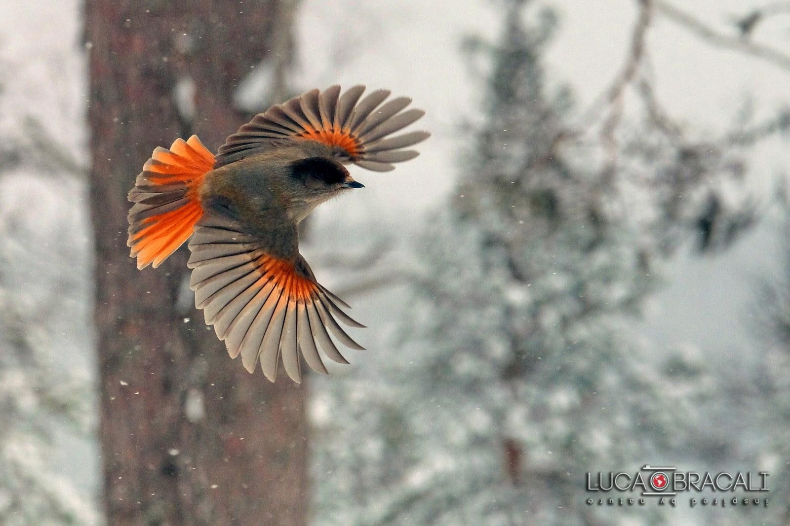 Lapponia_Finlandese_bird_2
