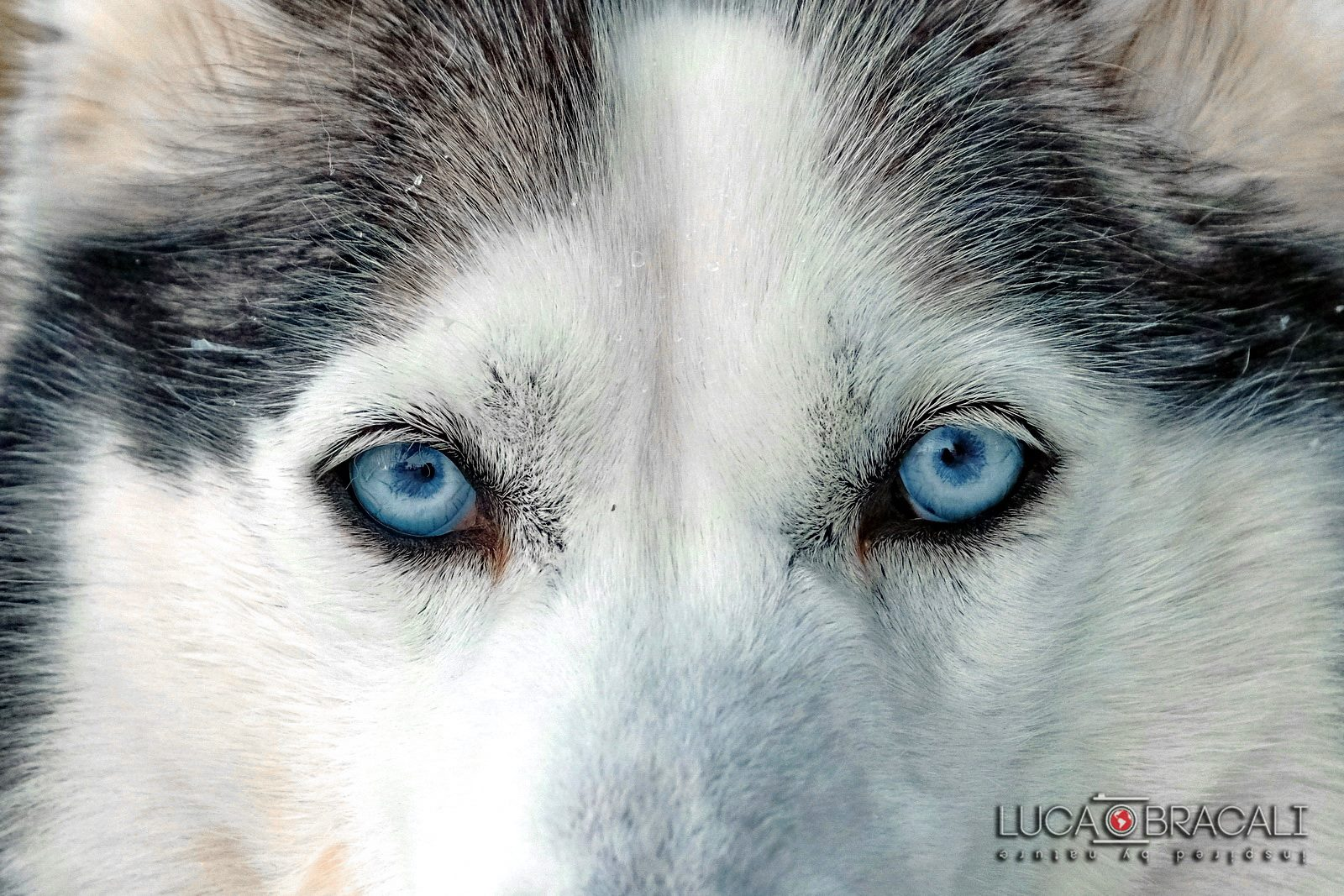 Lapponia_Finlandese_wolf
