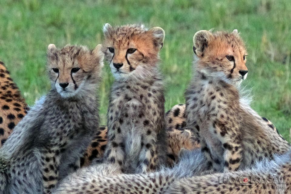 Kenya_cuccioli_ghepardo
