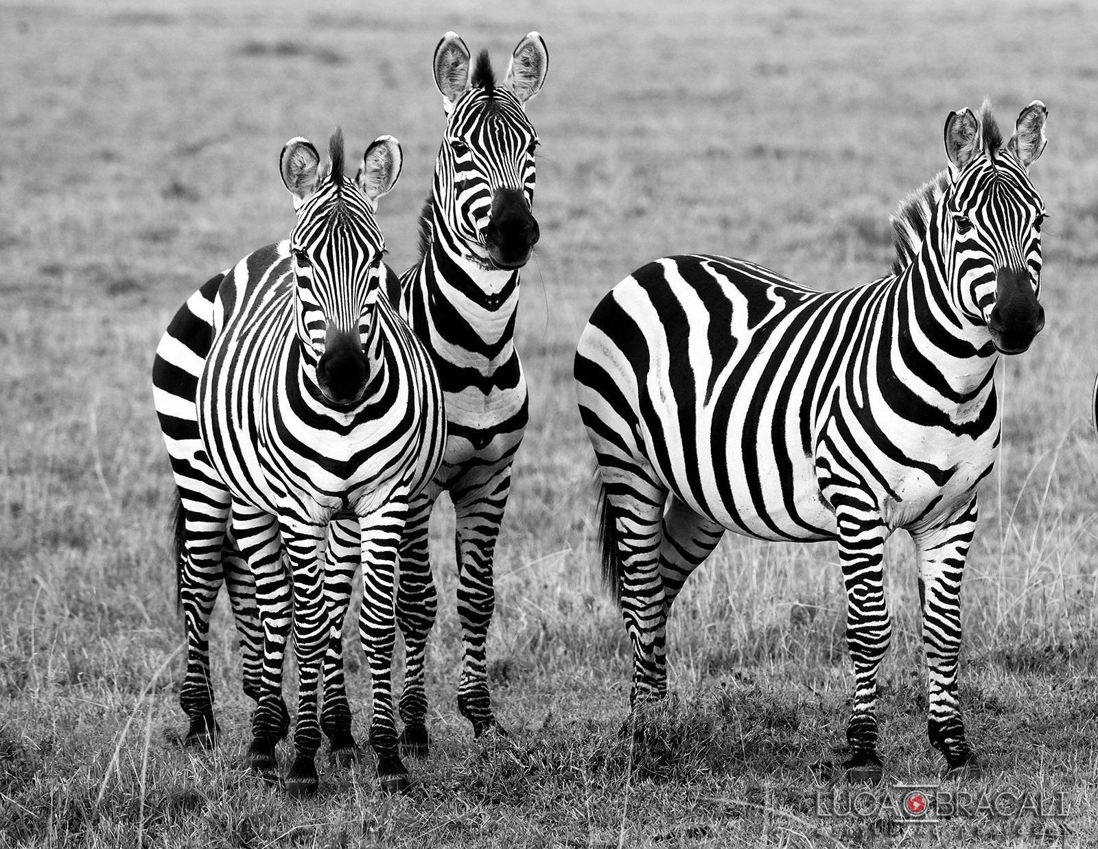 Kenya_zebra