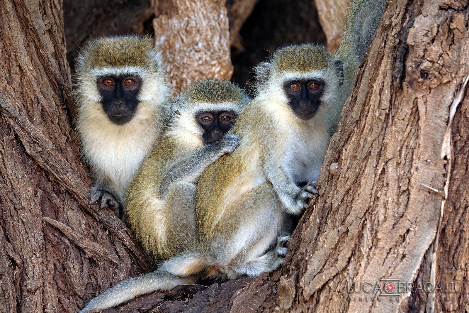 kenya_scimmie