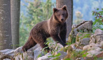 Viaggio fotografico in Slovenia, gli orsi