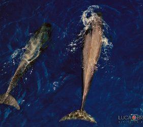 Delfini alle isole Azzorre